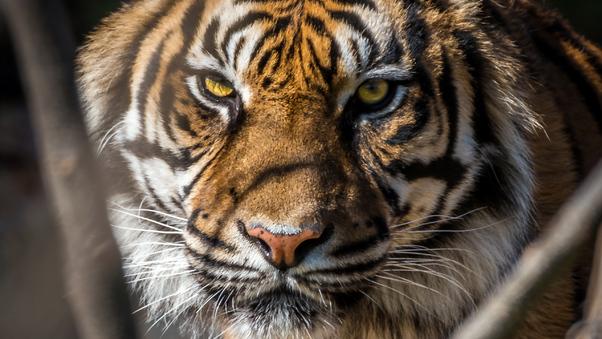 tiger-face-closup-iw.jpg