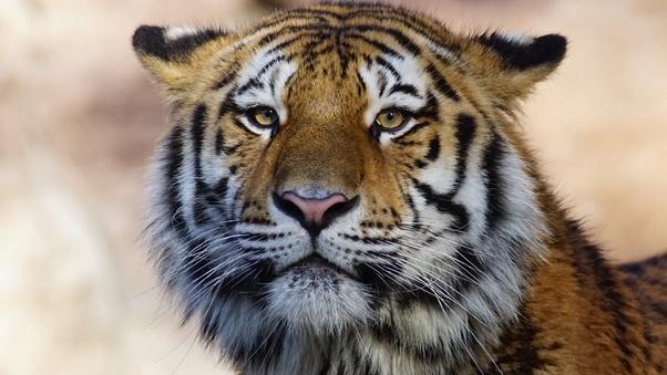 tiger-wild-animal-4k-oj.jpg