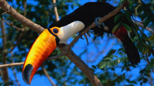 toucans-wildlife-birds-wallpaper.jpg