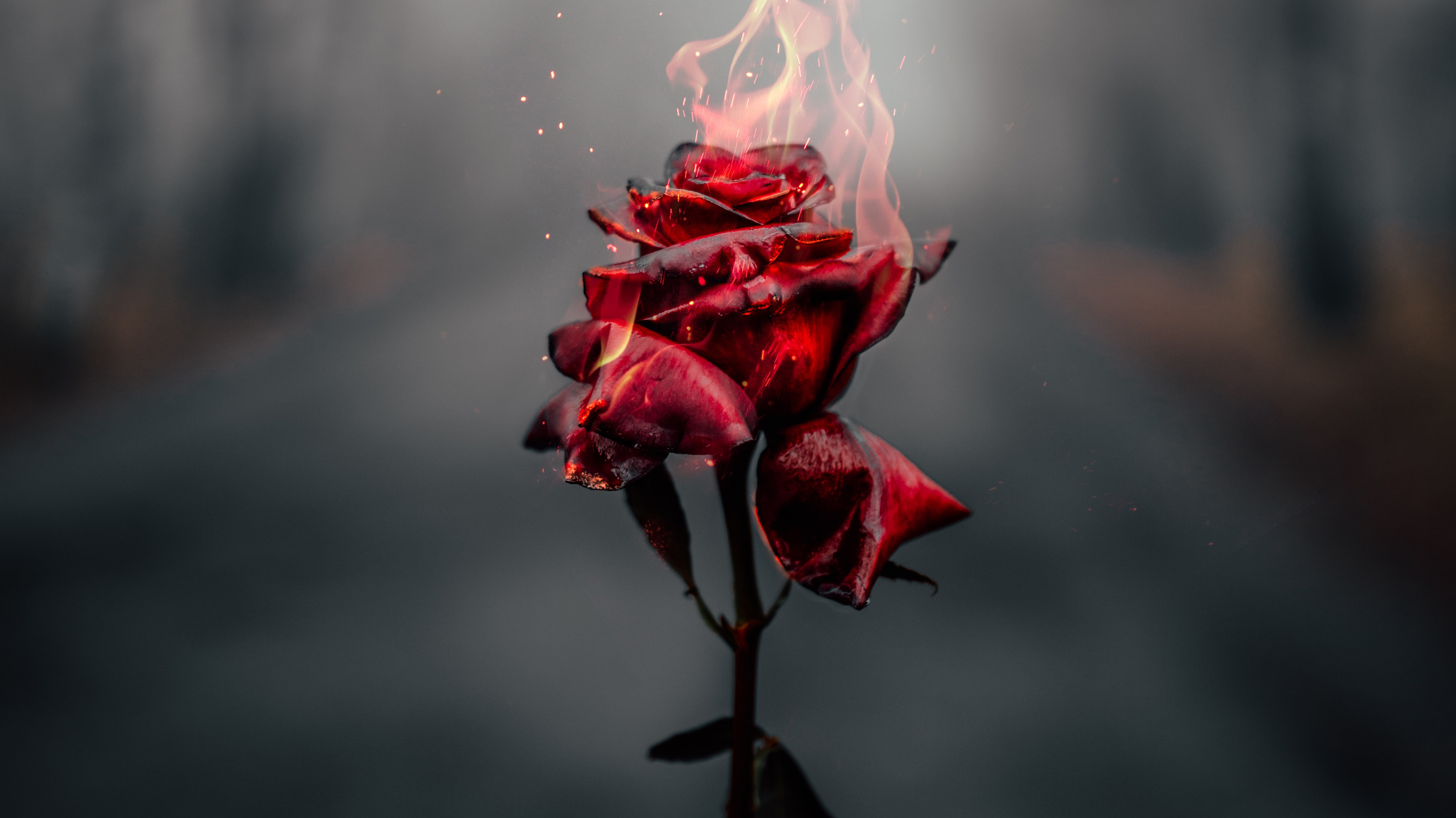 Burning Rose 4k Hd Photography 4k Wallpapers Images Backgrounds Photos And Pictures