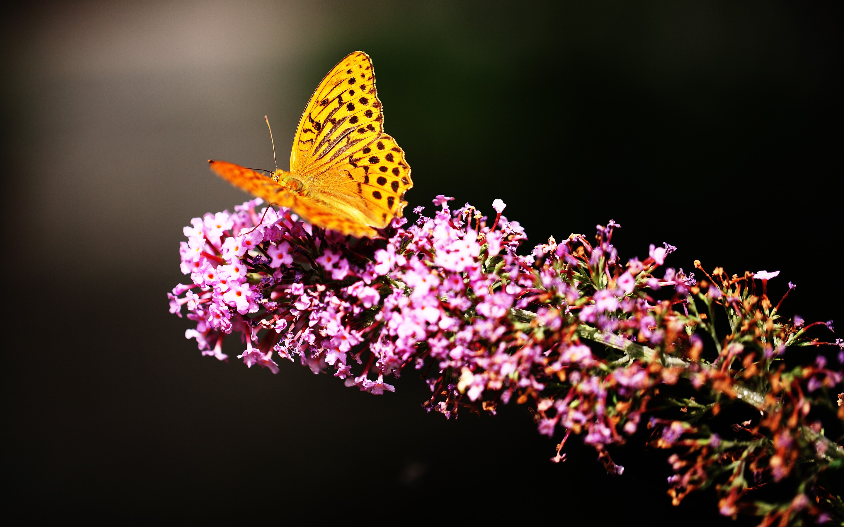 1920x1080 Butterfly In Garden Laptop Full Hd 1080p Hd 4k Wallpapers Images Backgrounds Photos And Pictures