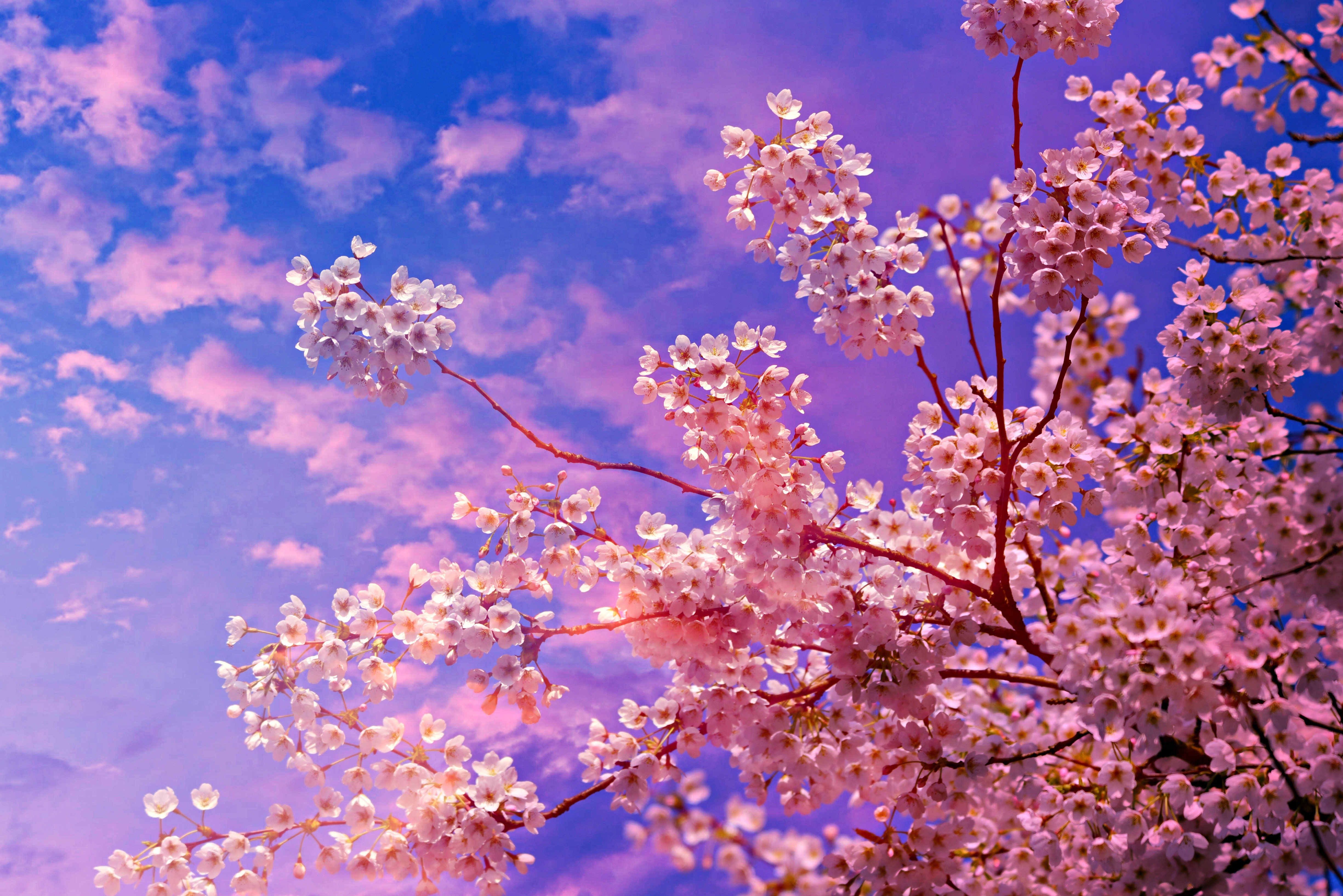 Cherry Blossom Tree 4k 5k Hd Nature 4k Wallpapers Images Backgrounds Photos And Pictures