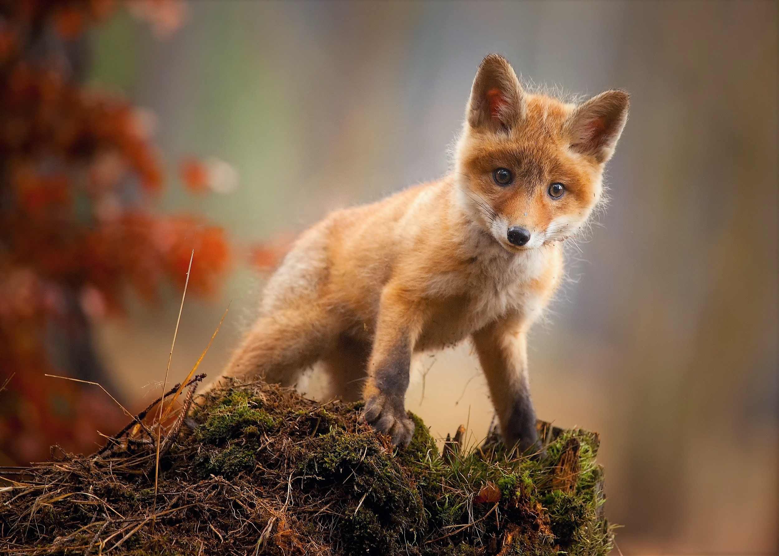 Fox Cub Baby Animal Cute Hd Hd Animals 4k Wallpapers Images Backgrounds Photos And Pictures