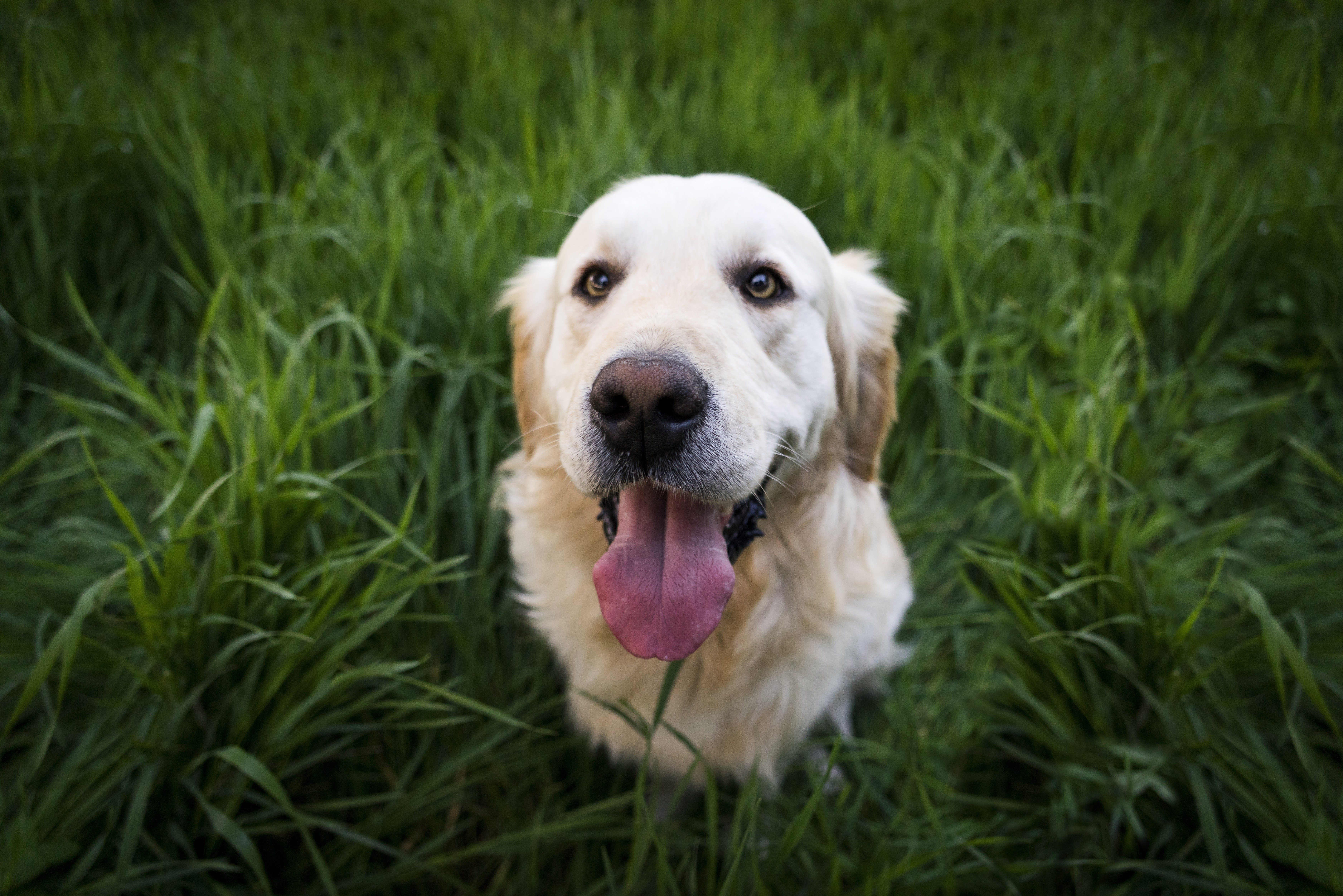 1920x1080 Golden Labrador Retriever 5k Laptop Full Hd 1080p Hd 4k Wallpapers Images Backgrounds Photos And Pictures