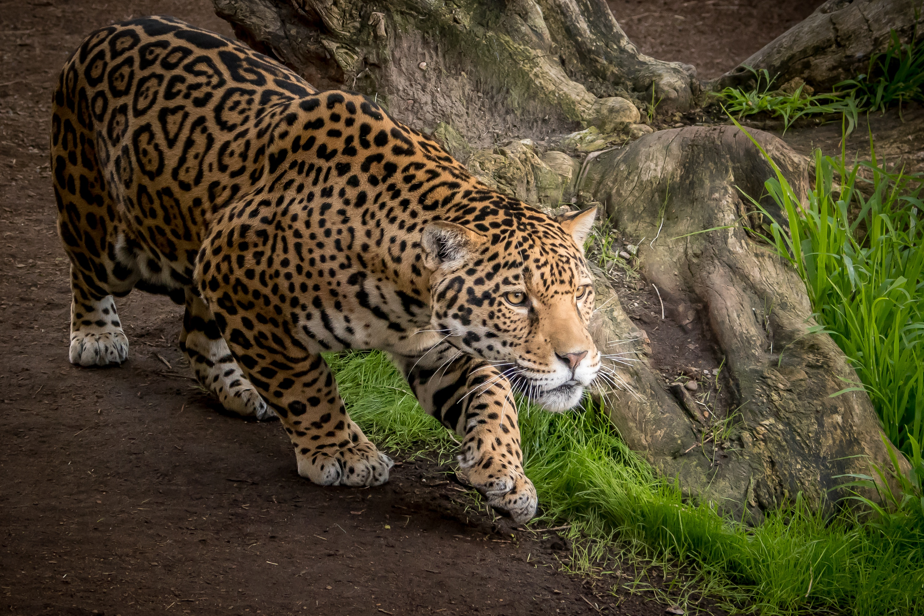 1920x1080 Jaguar Animal Laptop Full Hd 1080p Hd 4k Wallpapers Images Backgrounds Photos And Pictures