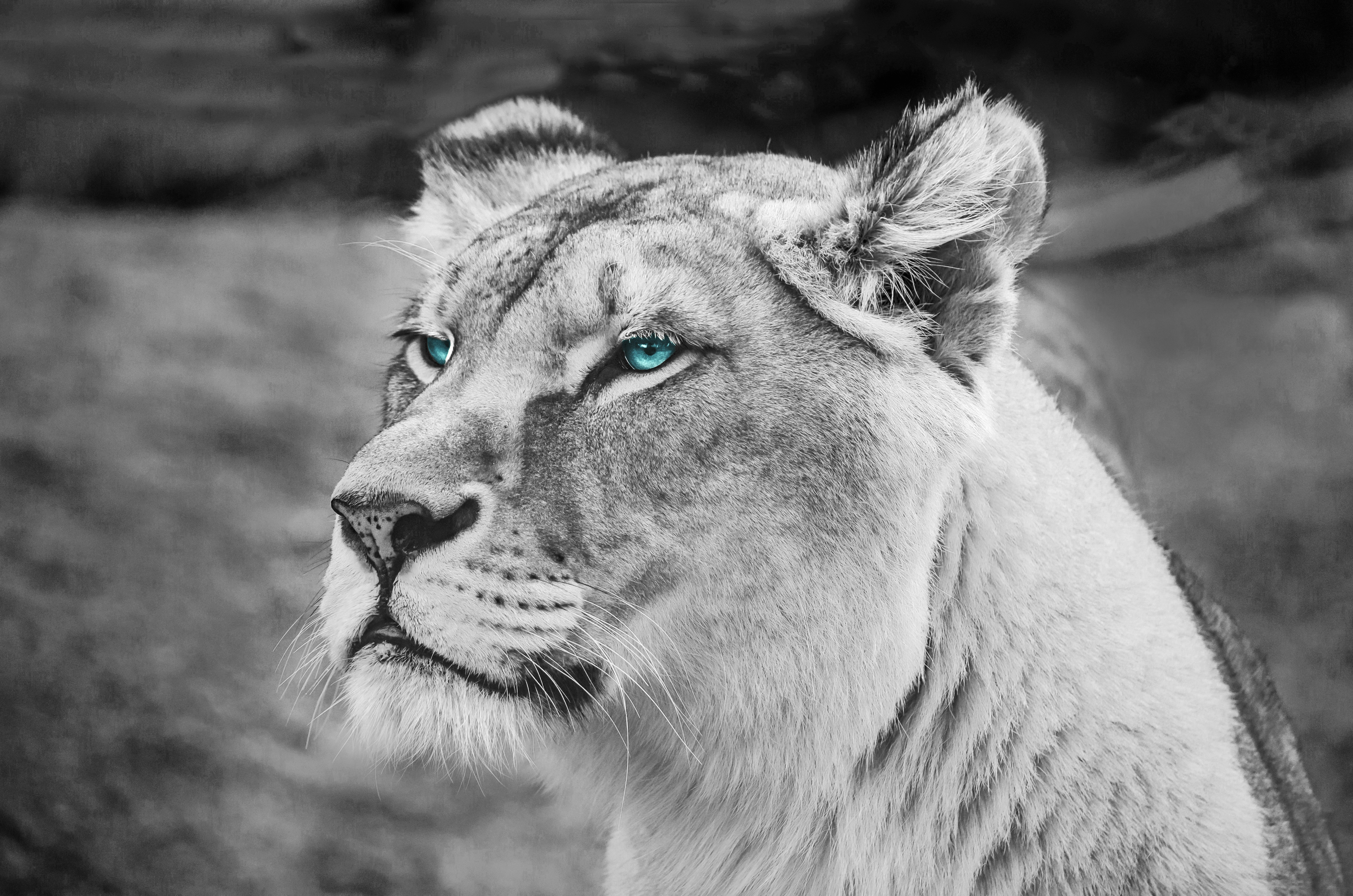 Lion Blue Eyes Monochrome 5k Hd Animals 4k Wallpapers Images Backgrounds Photos And Pictures