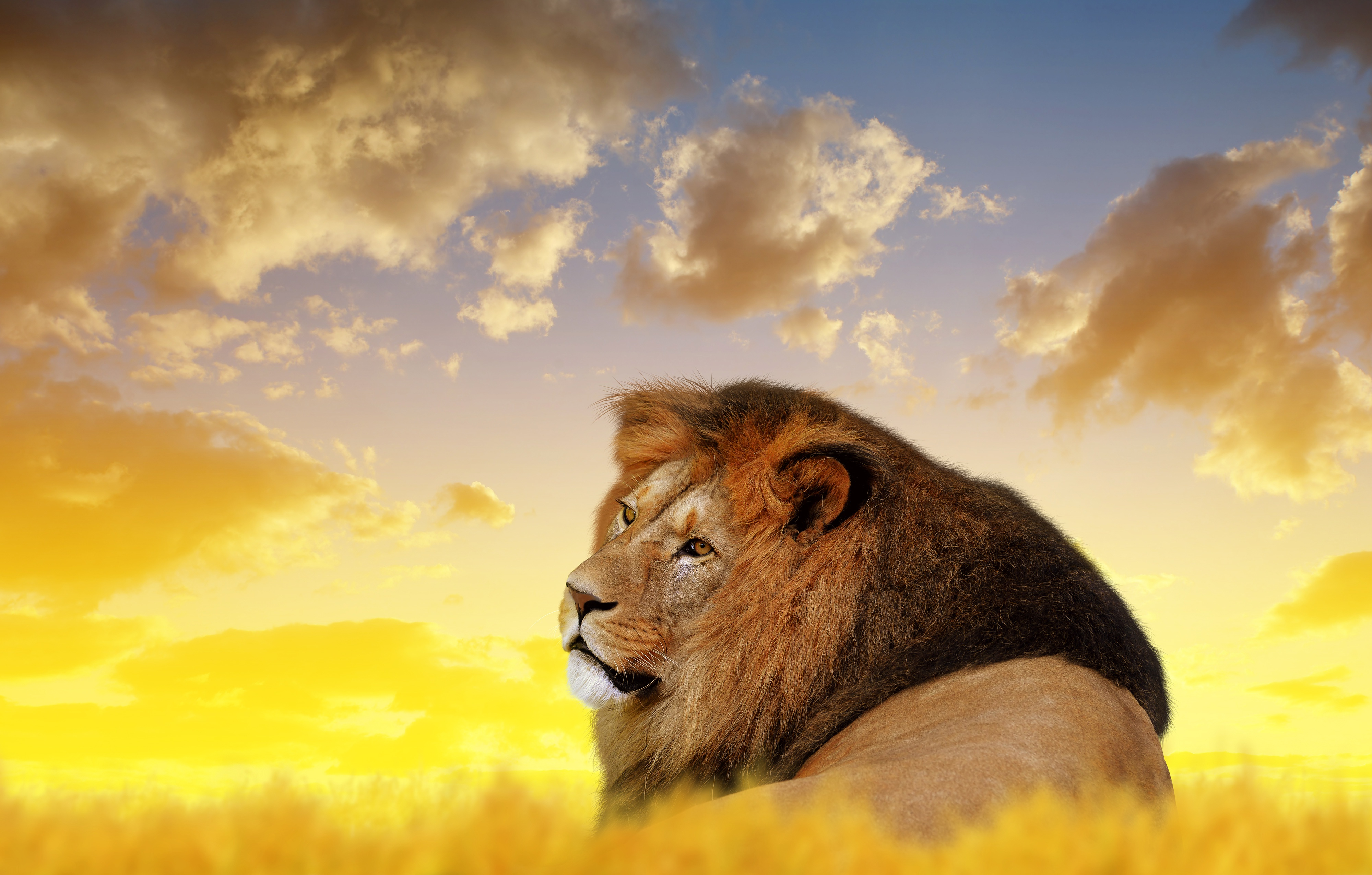 Lion Ultra Hd 4k Hd Animals 4k Wallpapers Images Backgrounds