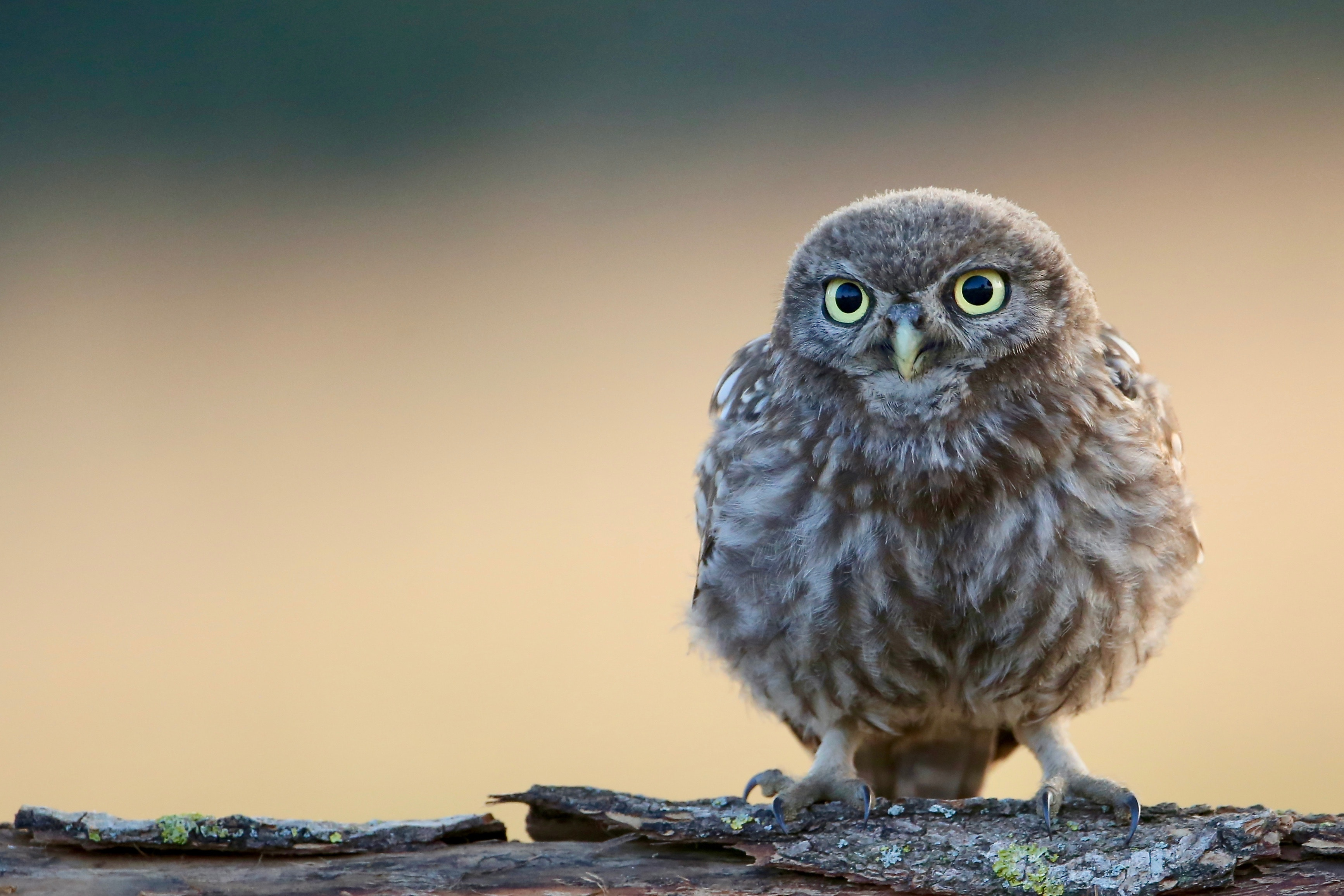 2048x1152 Little Cute Owl 4k 2048x1152 Resolution Hd 4k