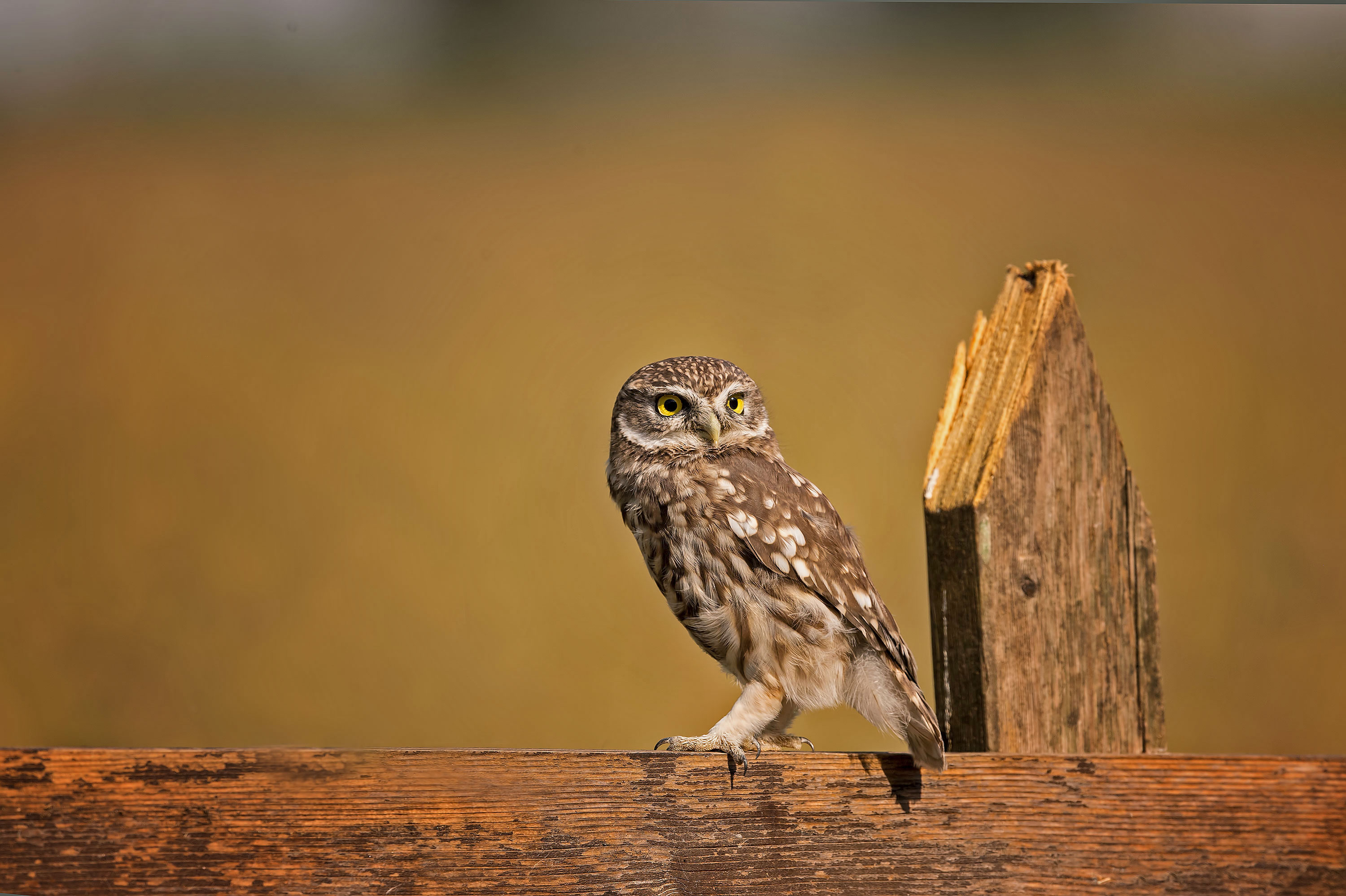 1920x1080 Little Owl 4k Laptop Full Hd 1080p Hd 4k Wallpapers Images Backgrounds Photos And Pictures