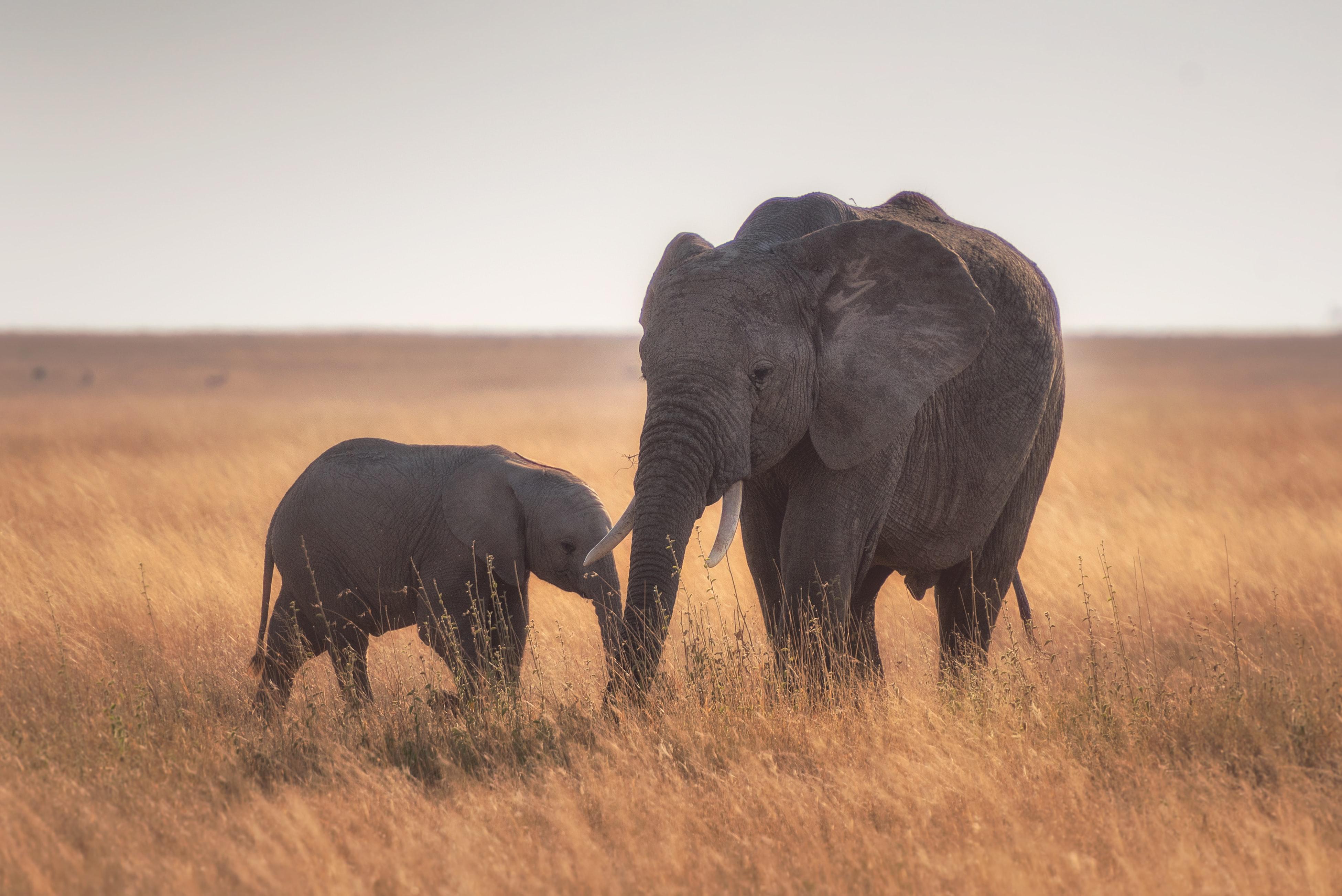 1366x768 Mother Baby Elephant 4k 1366x768 Resolution HD 4k ...