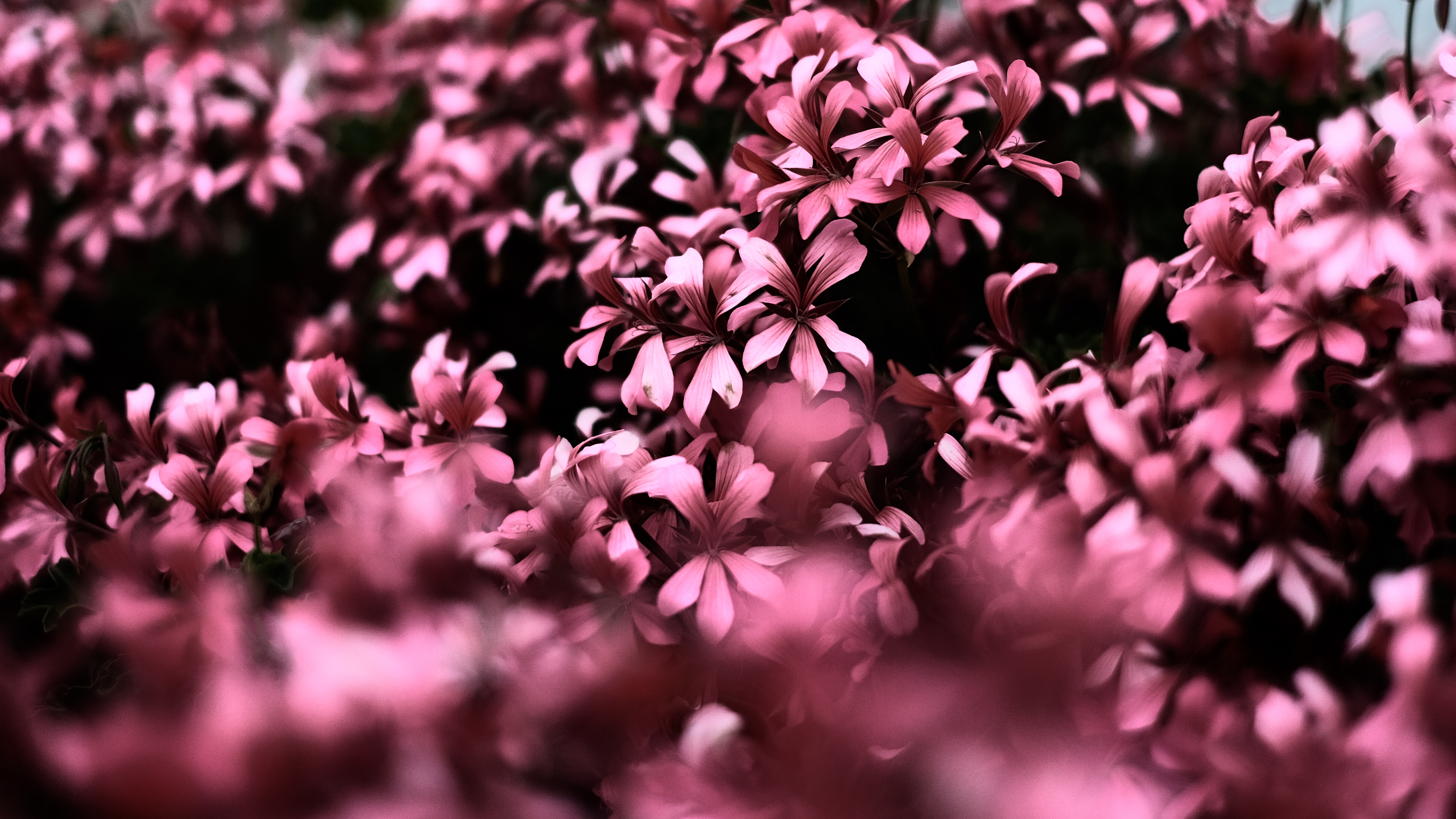 Pink Flowers Ultra Hd Blur 4k Hd Flowers 4k Wallpapers Images Backgrounds Photos And Pictures