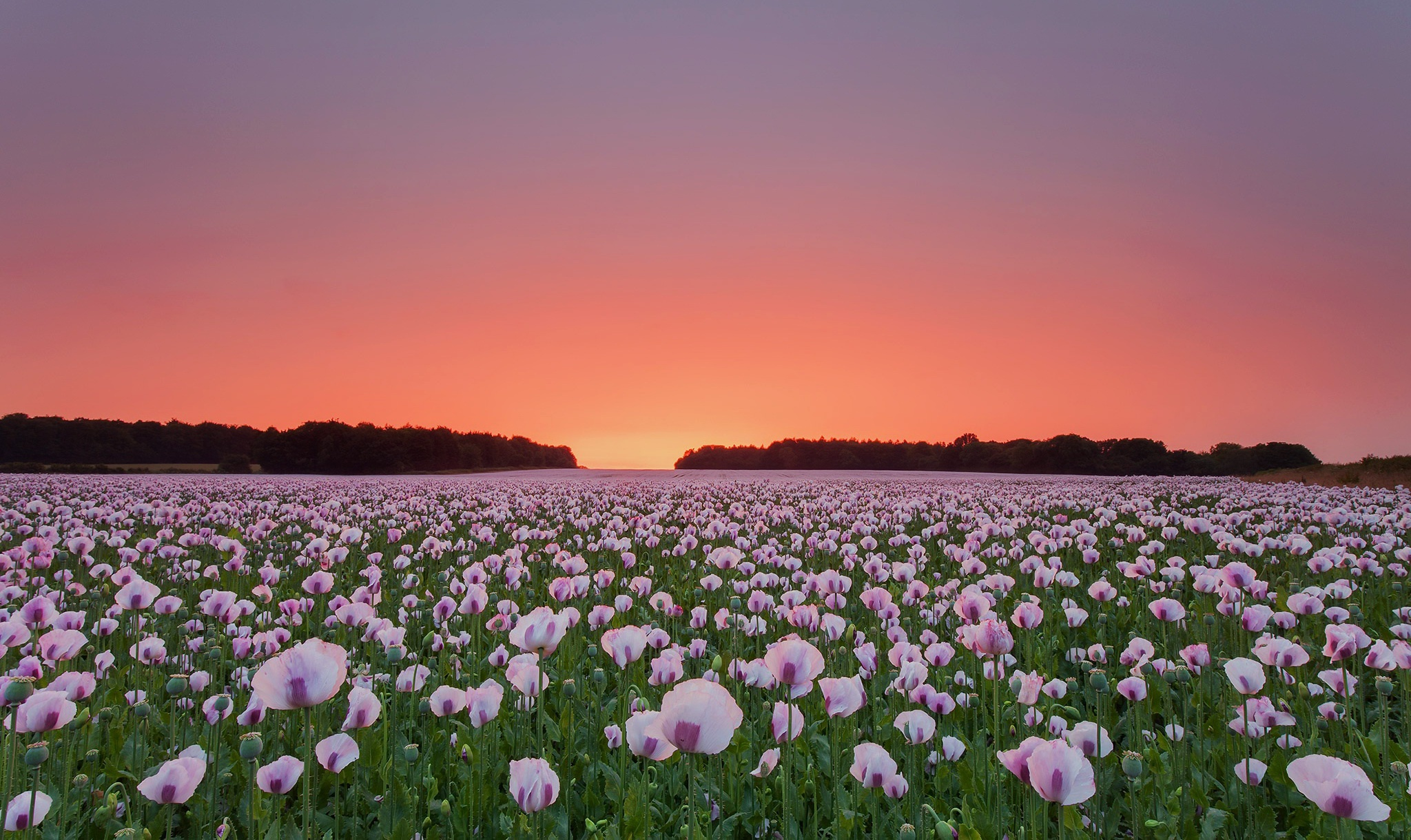 1920x1080 Poppy Flowers Field Laptop Full Hd 1080p Hd 4k Wallpapers Images Backgrounds Photos And Pictures