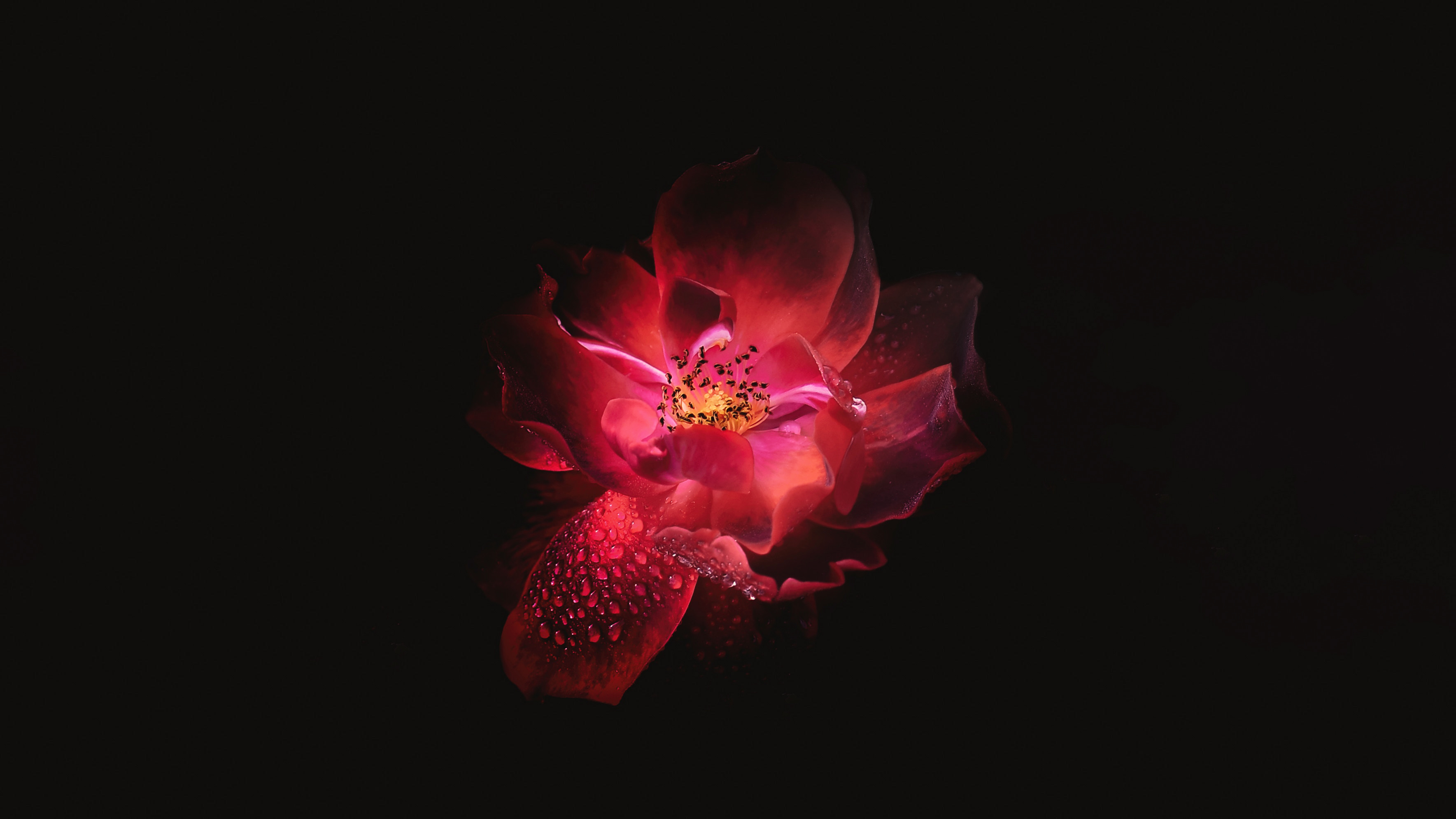 Red Flower Black Background 4k Hd Flowers 4k Wallpapers Images Backgrounds Photos And Pictures