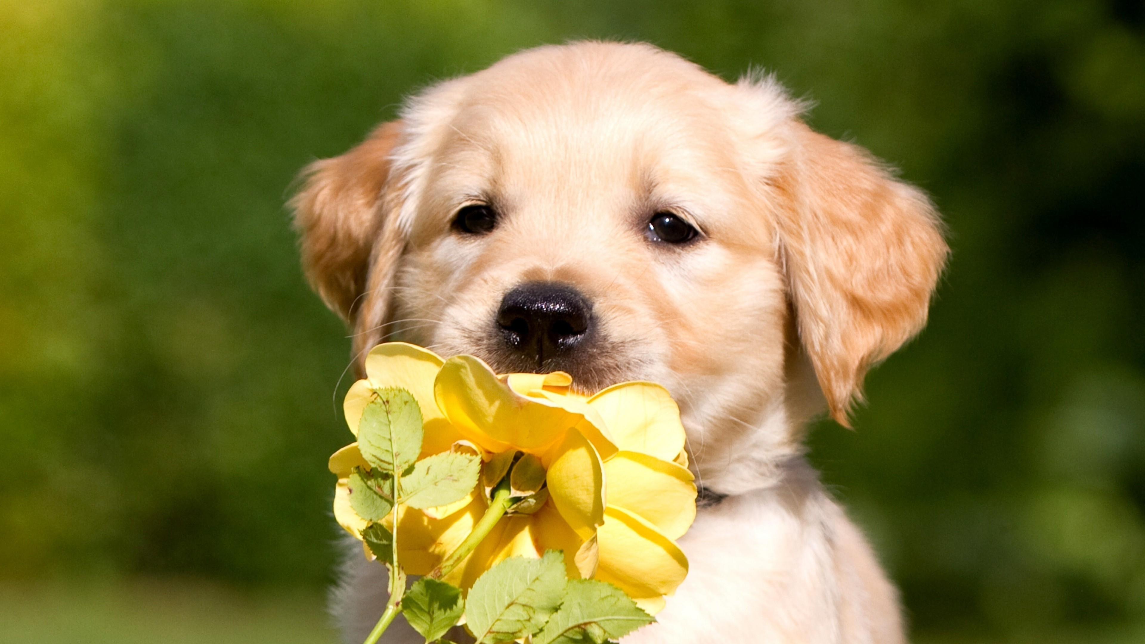 1360x768 Retriever Puppy Petals Laptop Hd Hd 4k Wallpapers Images Backgrounds Photos And Pictures