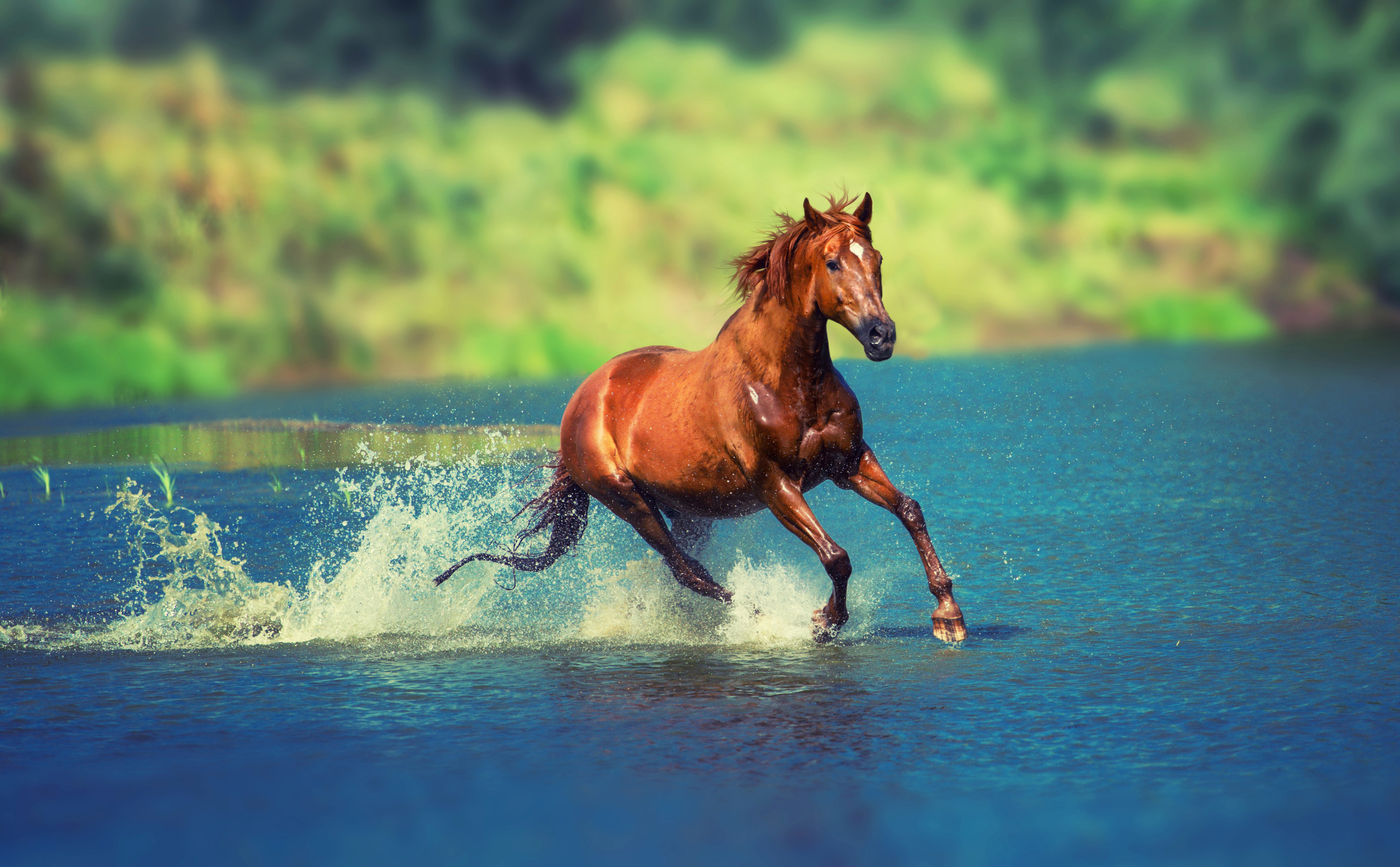 1366x768 Running Horse In Water 1366x768 Resolution Hd 4k Wallpapers Images Backgrounds Photos And Pictures