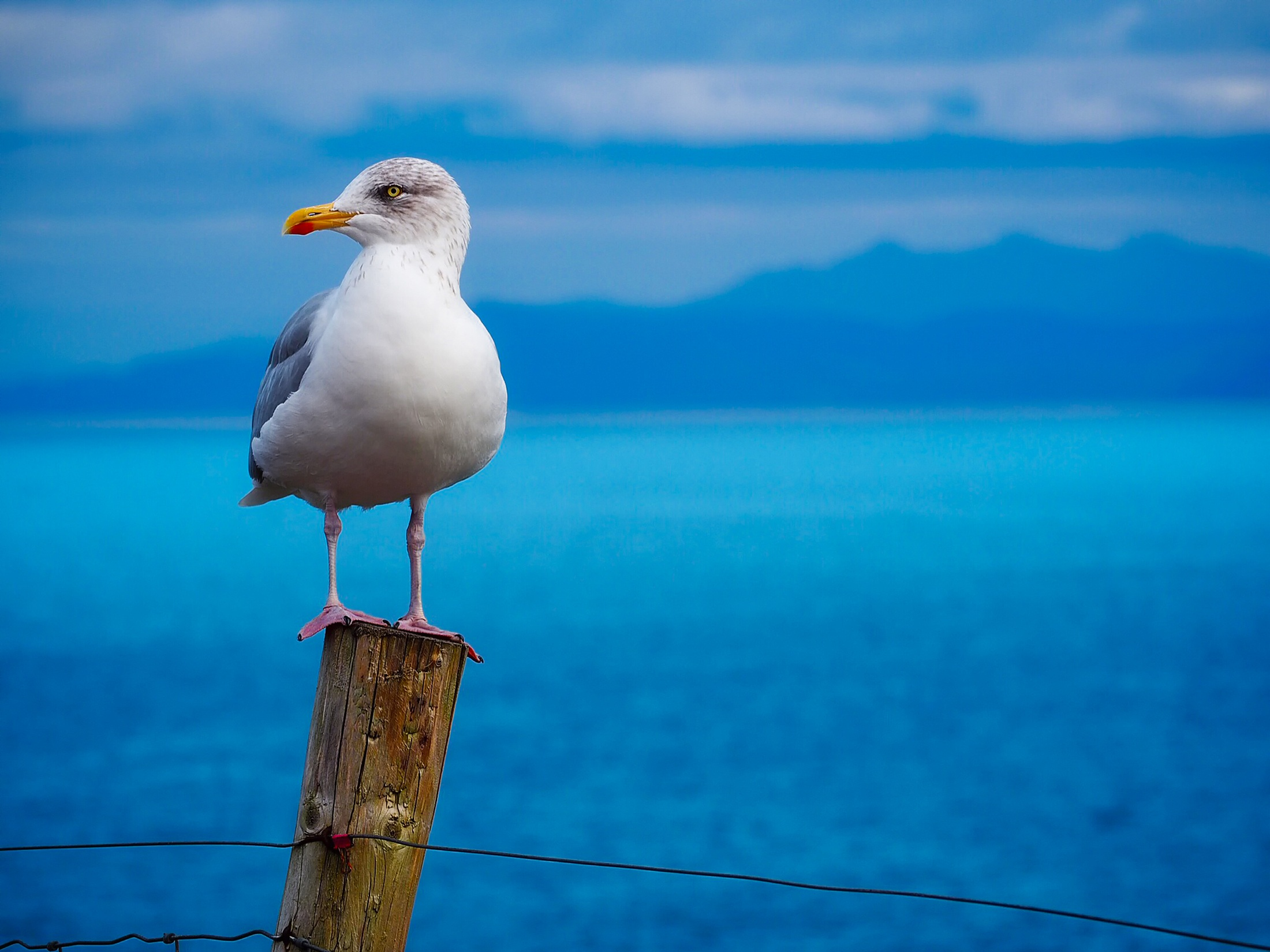 bird, Seagull, Sea, View Wallpapers HD / Desktop and