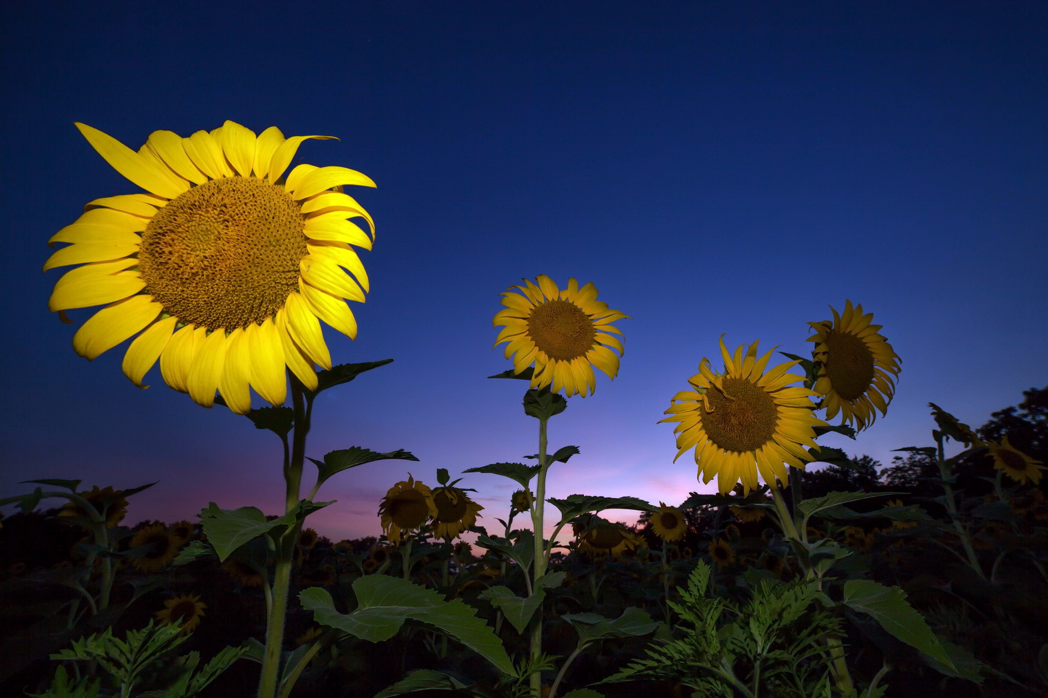 1360x768 Sunflower Laptop Hd Hd 4k Wallpapers Images Backgrounds Photos And Pictures