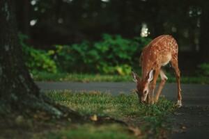 4k Deer