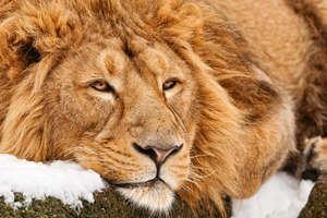 4k Lion