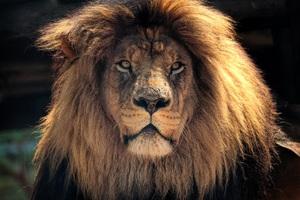 4k Lion Hd