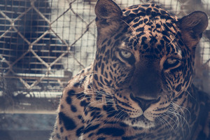 5k Leopard Wallpaper