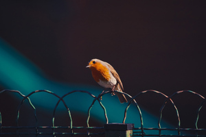American Robin Bird 5k Wallpaper