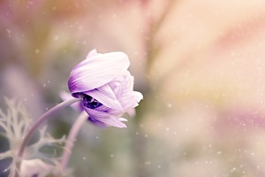 Anemone Flower Violet White Blossom Wallpaper