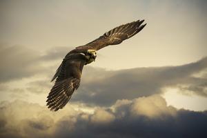 Angry Hawk 4k