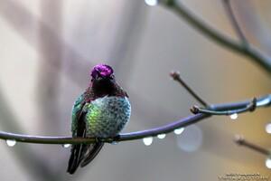 Annas Hummingbird Wallpaper