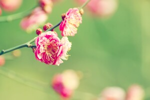 Apricot Japanese Wallpaper