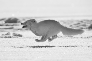 Arctic Fox Running Wallpaper