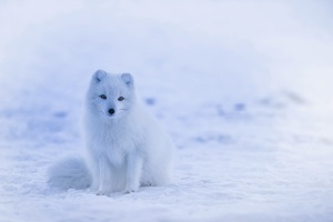 Arctic Fox Snow