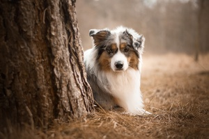 Australian Shepherd Dog Wallpaper
