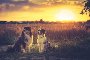 Australian Shepherds HD