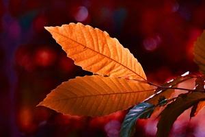 Autumn Colour Leaf 5k