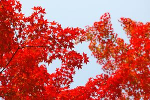 Autumn Red Leaf Orange Wallpaper