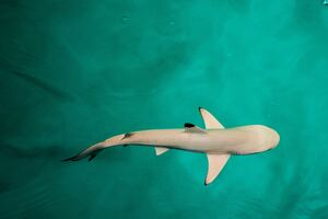 Baby Shark 4k Wallpaper