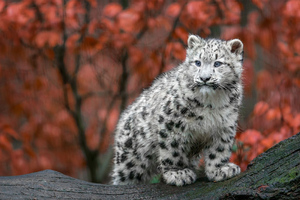 Baby Snow Leopard 4k Wallpaper