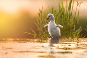 Baby Swan 4k