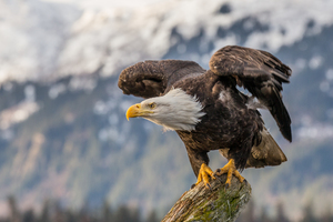 Bald Eagle 4k Wallpaper