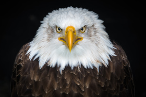 Bald Eagle 8k Wallpaper