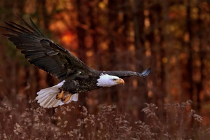 Bald Eagle Flight Wallpaper