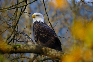 Bald Eagle Hawk 4k