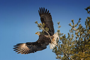 Bald Eagle Open Wings Wallpaper