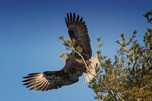 Bald Eagle Open Wings Wallpaper