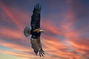 Bald Eagle Open Wings Sky 5k Wallpaper