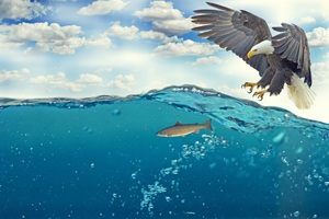 Bald Eagle Raptor Catching Fish 4k Wallpaper
