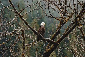 Bald Eagle Sitting On Branch 4k Wallpaper