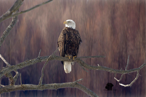 Bald Eagle Sitting On Branch 5k Wallpaper