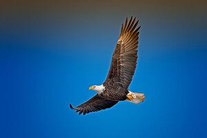 Bald Eagle Sky